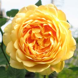 Rose 'Golden Celebration'